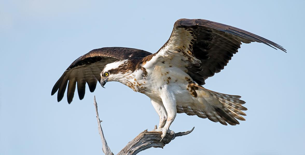 Audubon Gift Center Osprey