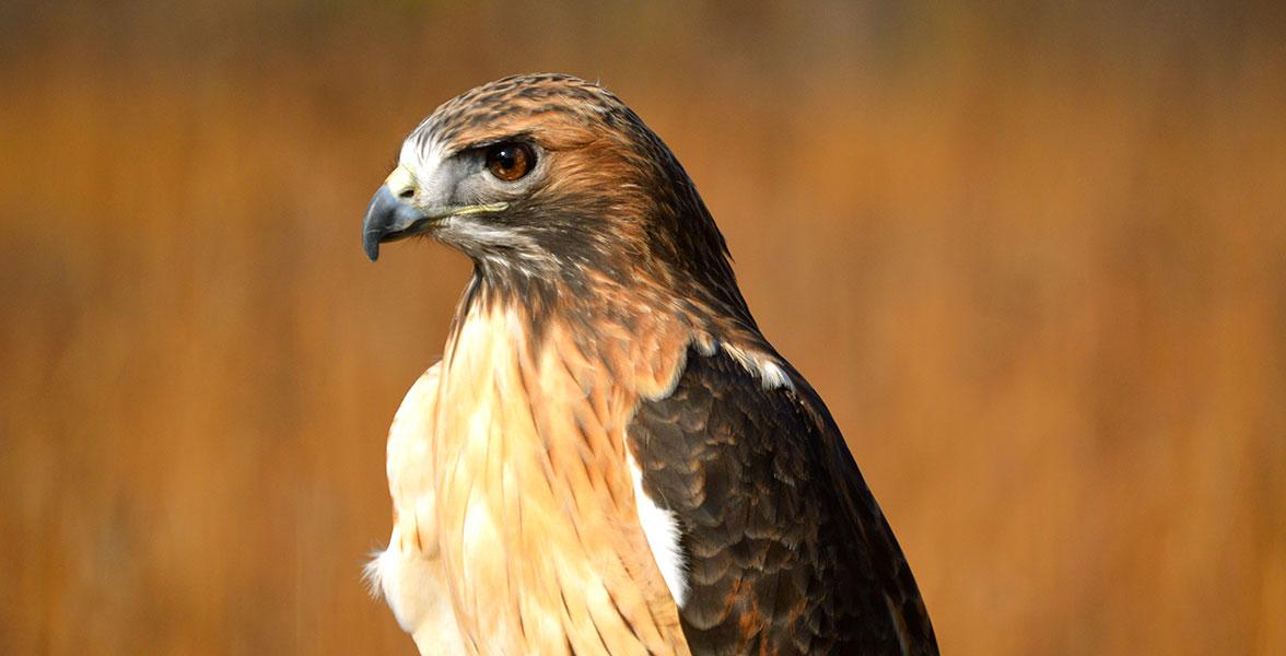 Audubon Gift Center Red Tailed Hawk