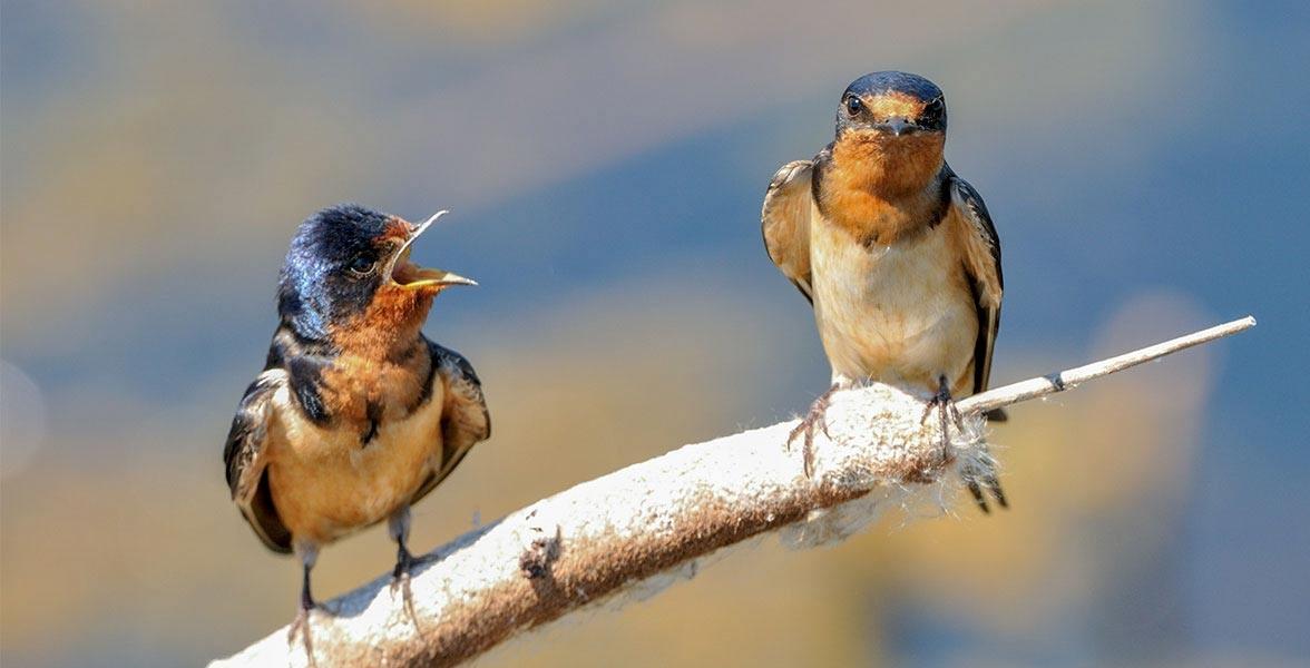 Barm Swallows.