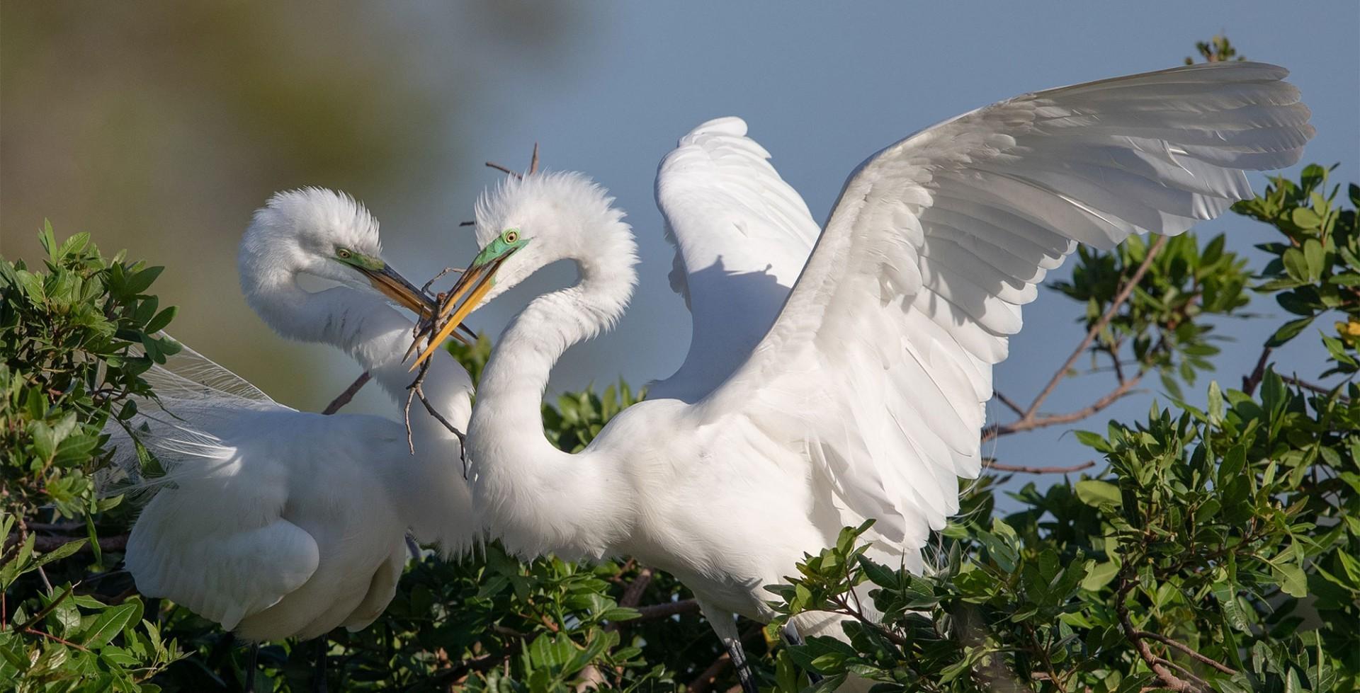 Great Egrets.
