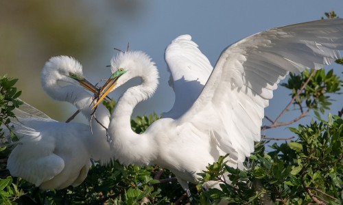 Great Egrets.